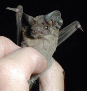 free-tailed-bat