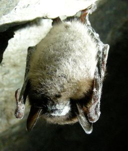 A little brown bat affected by white nose syndrome.